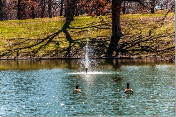 Ducks swimming by a fountain in a pond sparkling in the sun