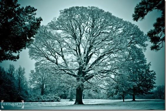 The Winter Tree, Jefferson Barracks, St. Louis, MO