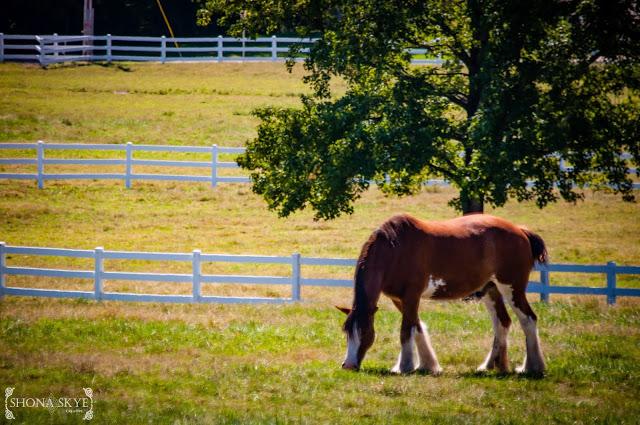 Clydesdale, Clydesdales, horse, horses, landscape, Grant's Farm, Anheuser-Busch, InBev, AB,