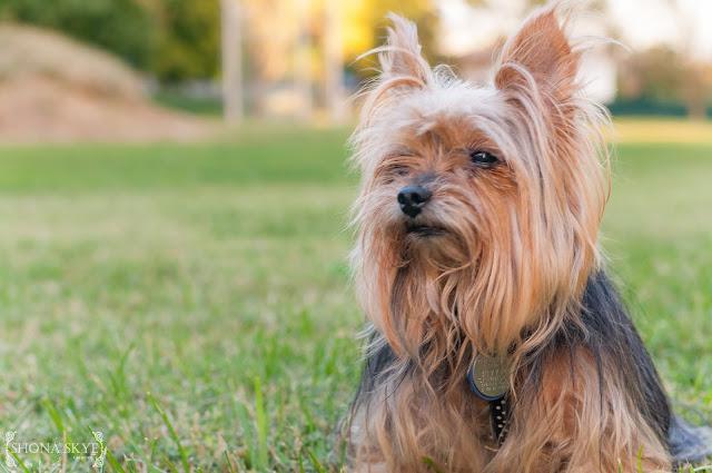 Yorkshire Terrier, Terriers, Yorkie, Yorkies, Dogs, Family, Park, Rescue Dogs, Pets, Pet, Pet Portrait, Portraits, Portraiture