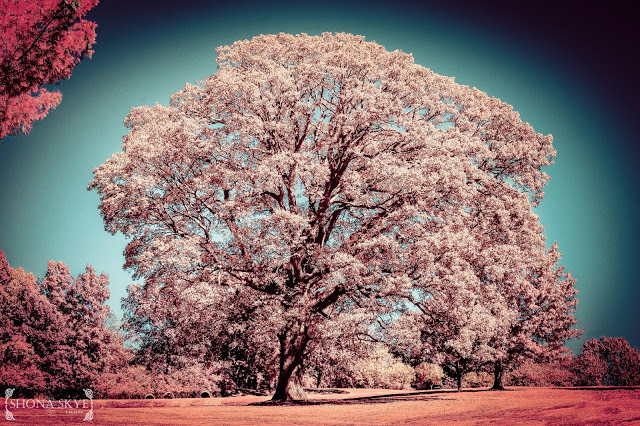 Jefferson Barracks, Tree, St. Louis, MO, Missouri, IR, Infrared, Color Channel Swap